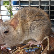 Rodent Removal in Oakland CA